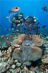 Palourdes géantes et poissons de licorne de vlaming (Naso vlamingii), Sulawesi (Indonésie), Asie du sud-est, Asie