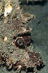 Ambon scorpionfish (Pteroidichthys amboinensis), Sulawesi, Indonesia, Southeast Asia, Asia