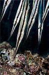 Razorfish (Aeoliscus strigatus), Sulawesi, Indonesia, Southeast Asia, Asia