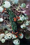 Nudibranche (Nembrotha kubaryana), Sulawesi, Indonésie, Asie du sud-est, Asie