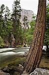 Tree and river with El Capitan behind, Yosemite National Park, UNESCO World Heritage Site, Yosemite, California, United States of America, North America