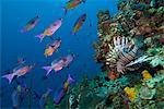 Girelle créole (Clepticus parrae) et le poisson lion (Pterois volitans), Roatan, Honduras, îles de la baie, des Caraïbes, l'Amérique centrale