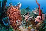 Many lionfish (Pterois volitans) and giant barrel sponge (Xestospongia muta), Roatan, Bay Islands, Honduras, Caribbean, Central America