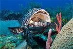 Close up of a black grouper (Mycteroperca bonaci) with his mouth open, Roatan, Bay Islands, Honduras, Caribbean, Central America