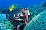 Black grouper (Mycteroperca bonaci) at cleaning station, Roatan, Bay Islands, Honduras, Caribbean, Central America