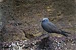 Brown noddy (Anous stolidus), Isabela Island, Galapagos Islands, UNESCO World Heritge Site, Ecuador, South America