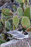 Mouette à queue fourchue (Creagrus furcatus), Île Genovesa, îles Galápagos, UNESCO World Heritge Site, Equateur, Amérique du Sud
