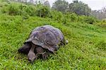 Sauvage tortue géante des Galapagos (Geochelone elephantopus), île de Santa Cruz, aux îles Galapagos, l'UNESCO World Heritge Site, Equateur, Amérique du Sud