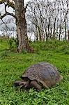 Sauvage tortue géante des Galapagos (Geochelone elephantopus), île de Santa Cruz, aux îles Galapagos, Équateur.