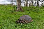 Wild Galapagos giant tortoise (Geochelone elephantopus), Santa Cruz Island, Galapagos Islands, UNESCO World Heritage Site, Ecuador, South America