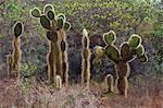 Cactus Opuntia, Opuntia echios, Cerro Dragon, île de Santa Cruz, Galapagos, patrimoine mondial de l'UNESCO, l'Équateur, en Amérique du Sud