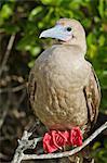 Red-footed  booby (Sula sula), Genovesa Island,  Galapagos Islands, UNESCO World Heritage Site, Ecuador, South America