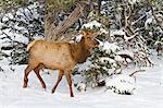 Elk, Cervus canadensis, wapiti, South Rim, Grand Canyon National Park, UNESCO World Heritage Site, Arizona, United States of America, North America