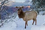 Elk (Cervus canadensis) (wapiti), South Rim, Grand Canyon National Park, UNESCO World Heritage Site, Arizona, United States of America, North America