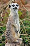 Erdmännchen (Suricata Suricatta). ein kleines Säugetier aus der Familie der Mangusten, in Gefangenschaft, Vereinigtes Königreich, Europa