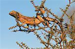 Ground agama (Agama aculeata), Kgalagadi Transfrontier Park, South Africa, Africa