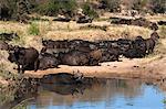 Troupeau de buffles (Syncerus caffer) au repos à l'eau, le Parc National Kruger, Afrique du Sud, Afrique