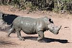 White rhino (Ceratotherium simum), Mkhuze game reserve, Kwazulu Natal, South Africa, Africa