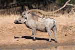 Warthog (Phacochoerus aethiopicus), with redbilled oxpeckers, Hluhluwe-Imfolozi Park, KwaZulu-Natal, South Africa, Africa