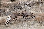 Deux mouflons (Ovis canadensis) béliers étaient chefs, Clear Creek County, Colorado, États-Unis d'Amérique, Amérique du Nord