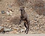 Mouflons (Ovis canadensis) de ram sur le point de commencer une tête butt durng le rut, Clear Creek County, Colorado, États-Unis d'Amérique, Amérique du Nord