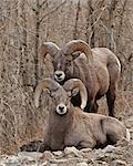 Zwei Bighorn-Schafe (Ovis Canadensis) Widder während der Brunft, Clear Creek County, Colorado, Vereinigte Staaten von Amerika, Nordamerika