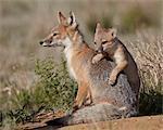 Kit de renard véloce (Vulpes velox) montée sur la renarde, Pawnee National Grassland, Colorado, États-Unis d'Amérique, Amérique du Nord