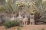 Swift fox (Vulpes velox) vixen and three kits at their den, Pawnee National Grassland, Colorado, United States of America, North America