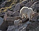 Chèvre de montagne (Oreamnos americanus) nounou et kid, Mount Evans, Arapaho-Roosevelt National Forest, Colorado, États-Unis d'Amérique, l'Amérique du Nord