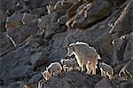 Nounou de la chèvre de montagne (Oreamnos americanus) et de cinq enfants, Mount Evans, Arapaho-Roosevelt National Forest, Colorado, États-Unis d'Amérique, Amérique du Nord