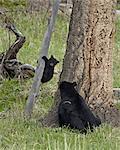 Semer de l'ours noir (Ursus americanus) et cub-de l'année en descendant d'un arbre, Parc National de Yellowstone, Wyoming, États-Unis d'Amérique, l'Amérique du Nord