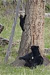 Truie de l'ours noir (Ursus americanus) et deux petits-de-l'année, une infirmière et un descendant d'un arbre, Parc National de Yellowstone, Wyoming, États-Unis d'Amérique, l'Amérique du Nord