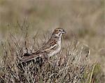 Female lark bunting (Calamospiza melanocorys), Pawnee National Grassland, Colorado, United States of America, North America