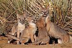 SWIFT fox (Vulpes velox) vixen et trois trousses à leur tanière, Pawnee National Grassland, Colorado, États-Unis d'Amérique, Amérique du Nord