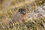 Marmotte à ventre jaune (marmotte de froussard) (Marmota flaviventris) au milieu de la dryade jaune, Mount Evans, Arapaho-Roosevelt National Forest, Colorado, États-Unis d'Amérique, Amérique du Nord