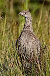 Tétras fuligineux (Tétras) (Dendragapus obscurus) poule, Glacier National Park, Montana, États-Unis d'Amérique, Amérique du Nord