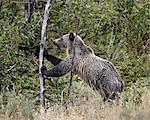 Grizzlybär (Ursus Arctos Horribilis) Schieben über ein toter Baum, Glacier National Park, Montana, Vereinigte Staaten von Amerika, Nordamerika