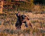 Deux jeunes adultes l'ours grizzli (Ursus arctos horribilis), Glacier National Park, Montana, États-Unis d'Amérique, l'Amérique du Nord