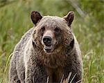 Grizzli (Ursus arctos horribilis), Glacier National Park, Montana, États-Unis d'Amérique, Amérique du Nord