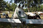 Lipizaner Pferde in der Welt-berühmten Lipizaner Pferde Bauernhof, Lipica, Slowenien, Europa
