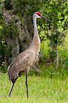 Sandhill crane (Grus canadensis), Everglades, Florida, United States of America, North America