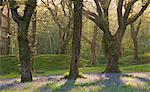 Bluebells poussant dans un bois de chênes, Blackbury Camp, Devon, Angleterre, Royaume-Uni, Europe