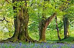 Hêtre et chêne arbres au-dessus d'un tapis de jacinthes dans une région boisée, Blackbury Camp, Devon, Angleterre, Royaume-Uni, Europe