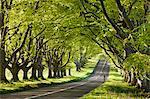 Cycliste le long d'un magnifique hêtre bordée chemin de campagne, Wimborne, Dorset, Angleterre, Royaume-Uni, Europe
