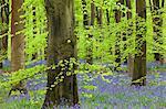 Tapis de Bluebell dans une forêt de hêtre, bois de l'Ouest, Lockeridge, Wiltshire, Angleterre, Royaume-Uni, Europe