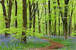 Tapis de Bluebell dans une forêt de hêtre, bois de l'Ouest, dans le Wiltshire, Angleterre, Royaume-Uni, Europe