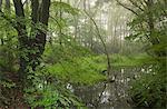 Étang de bois sur un matin brumeux, Morchard Wood, Devon, Angleterre, Royaume-Uni, Europe