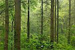 Boisés de pins animée en été, Morchard Wood, Devon, Angleterre, Royaume-Uni, Europe