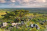 Arbres de Hawthorn sur la lande de Dartmoor en heure d'été, Devon, Angleterre, Royaume-Uni, Europe