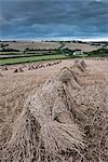 Traditional wheat stooks harvested for thatching, Coldridge, Devon, England, United Kingdom, Europe